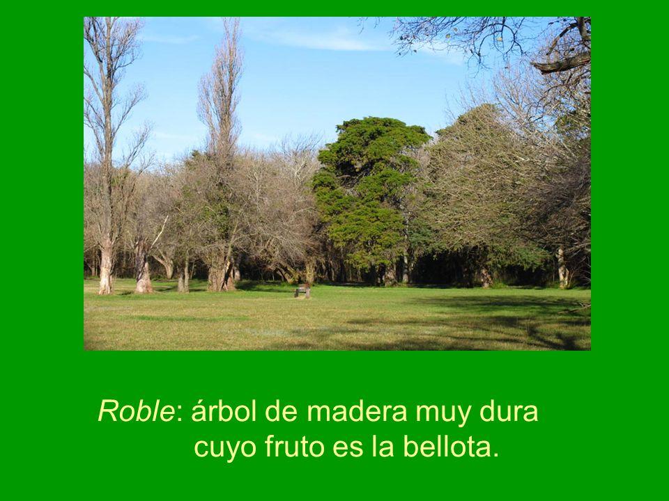 Roble: árbol de madera muy dura cuyo fruto es la bellota.