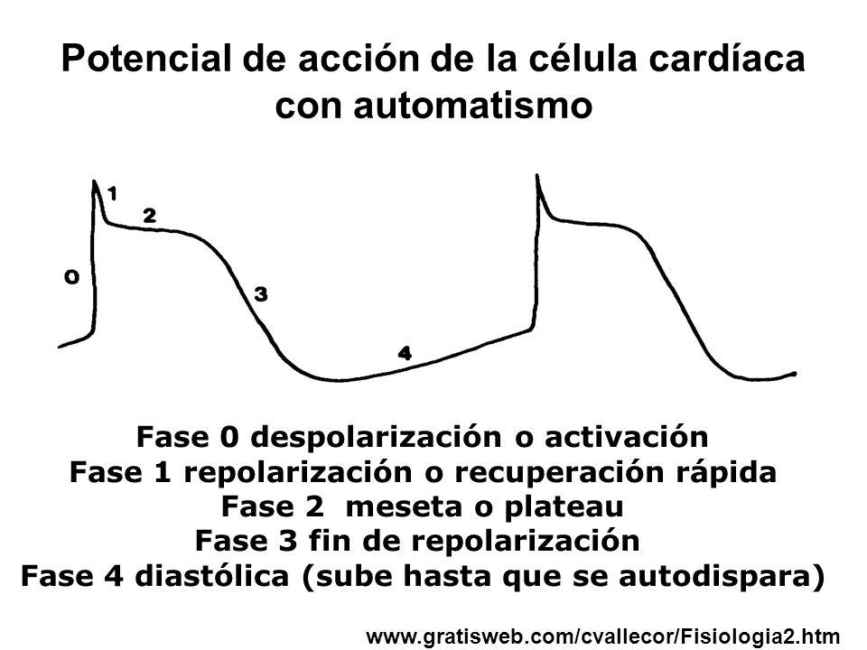 Potencial de acción de la célula cardíaca con automatismo