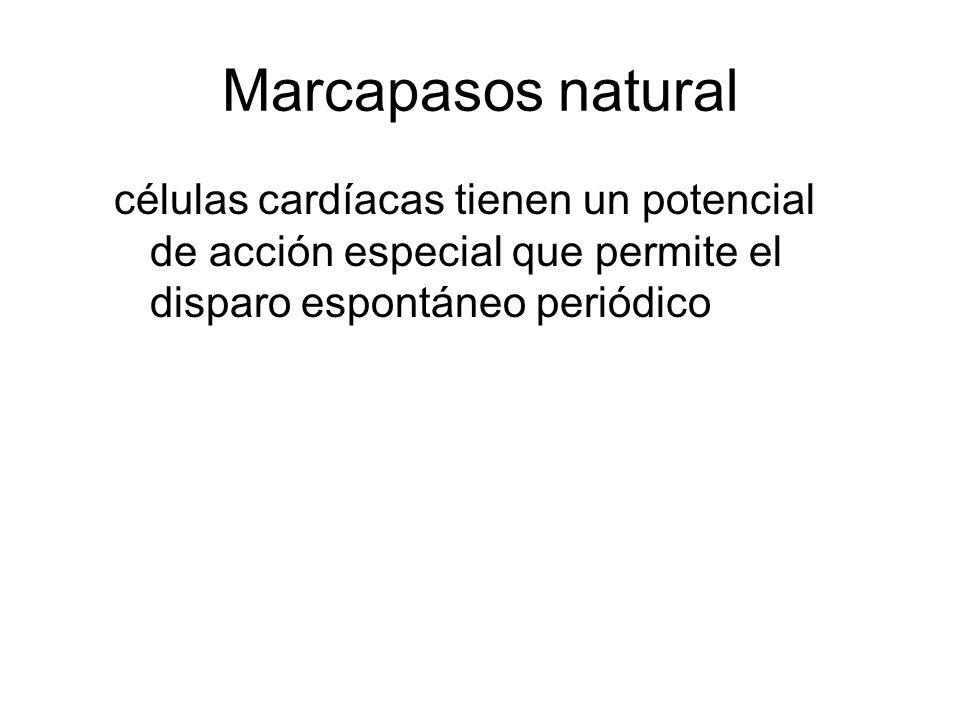 Marcapasos natural células cardíacas tienen un potencial de acción especial que permite el disparo espontáneo periódico.