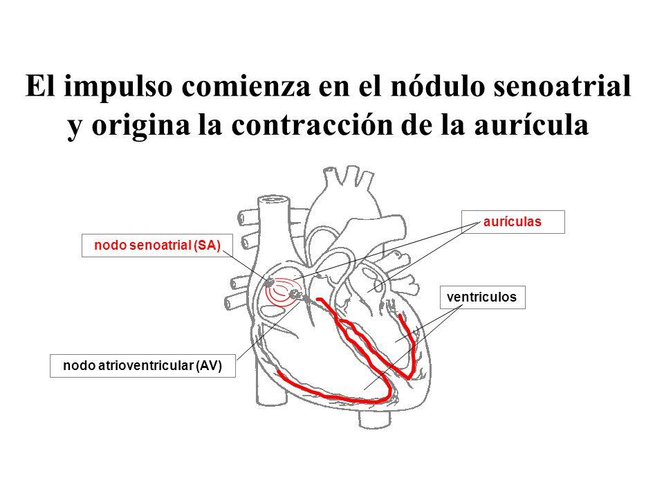 nodo atrioventricular (AV)