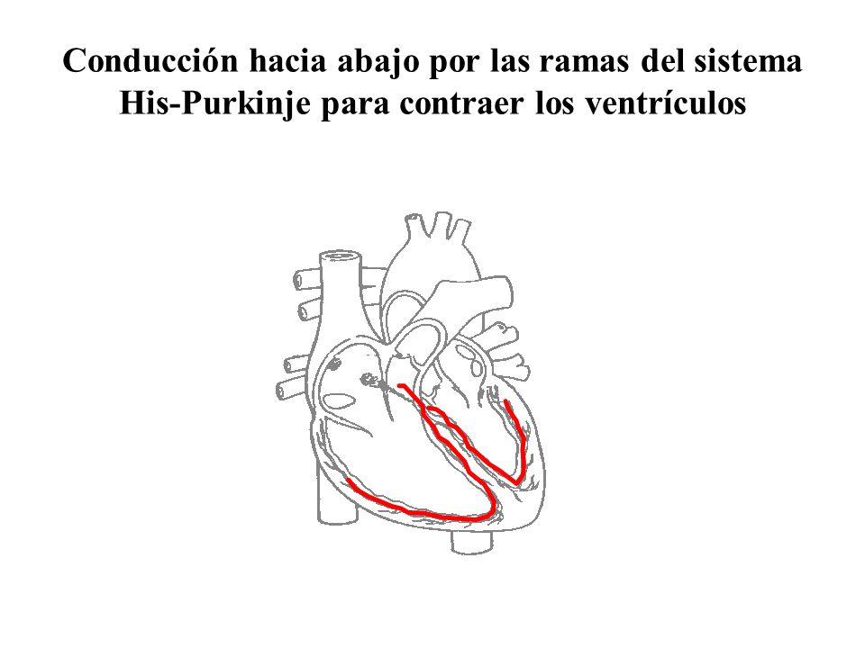 Conducción hacia abajo por las ramas del sistema His-Purkinje para contraer los ventrículos