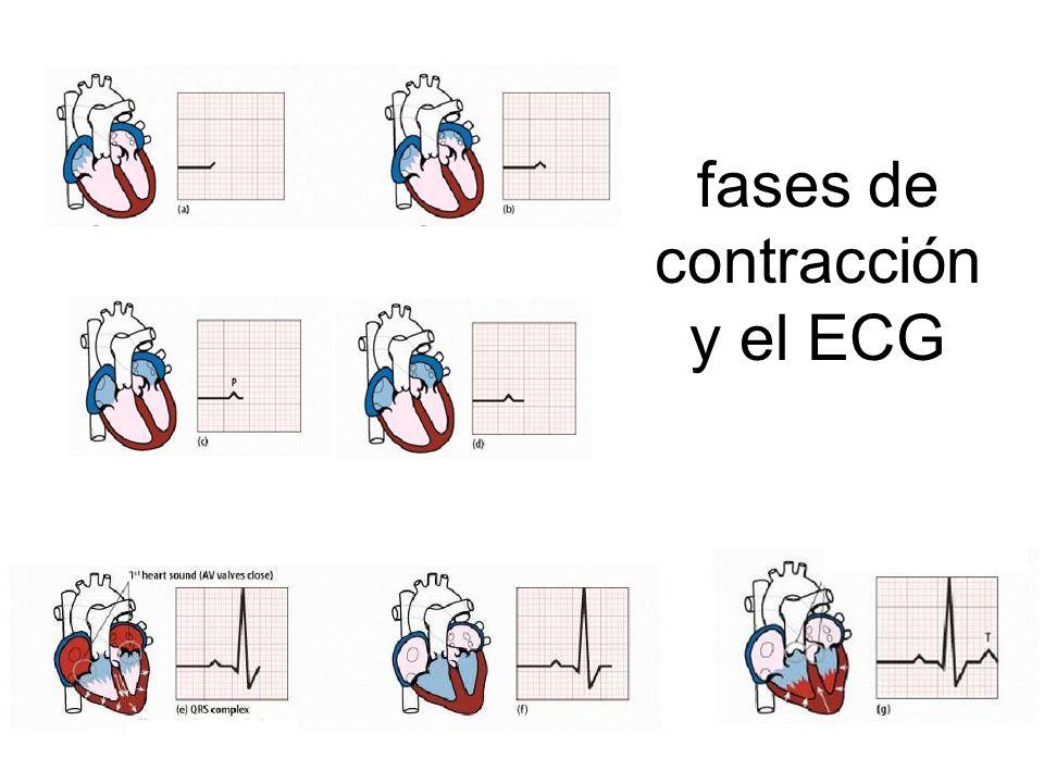 fases de contracción y el ECG