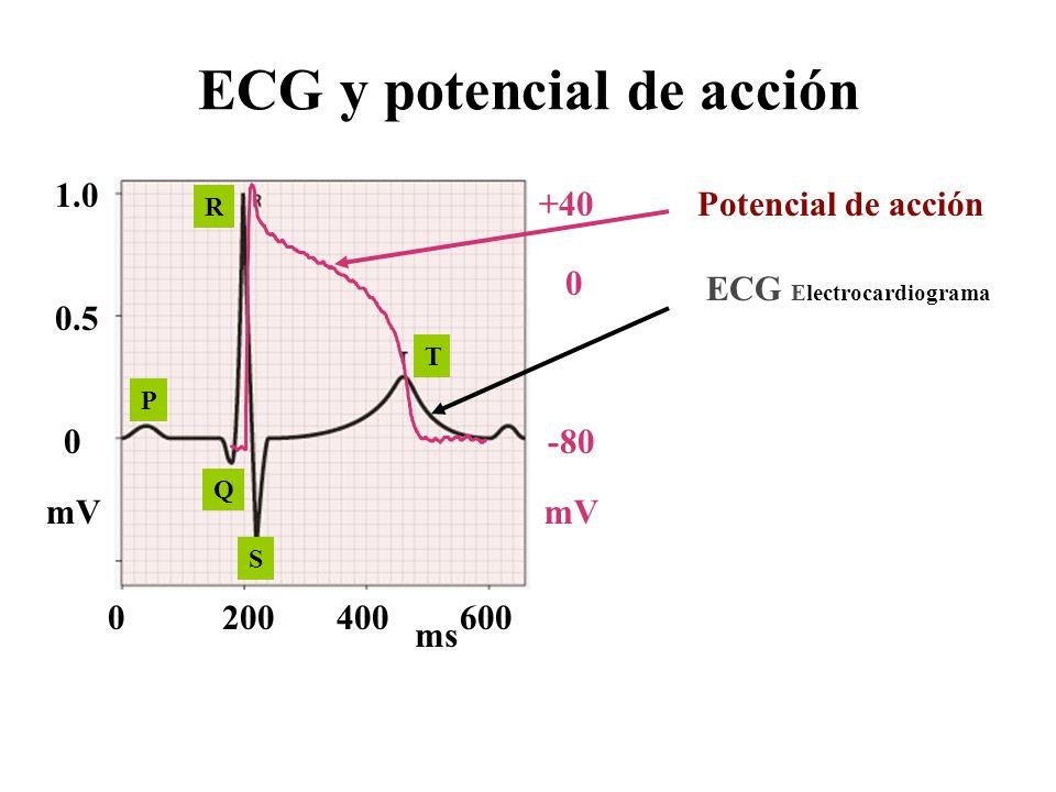 ECG y potencial de acción