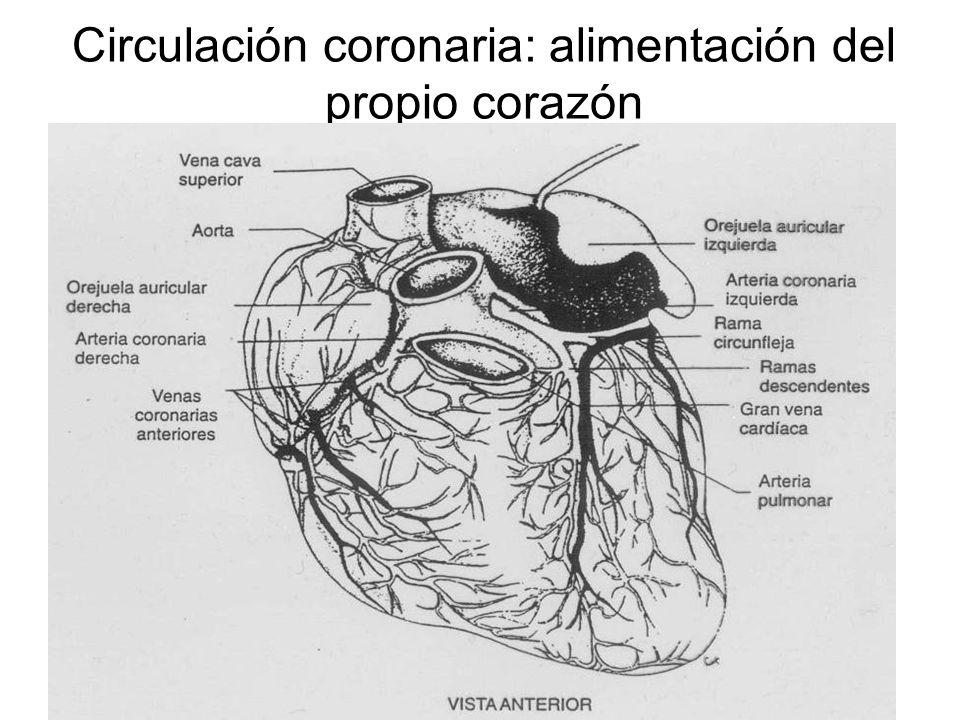Circulación coronaria: alimentación del propio corazón