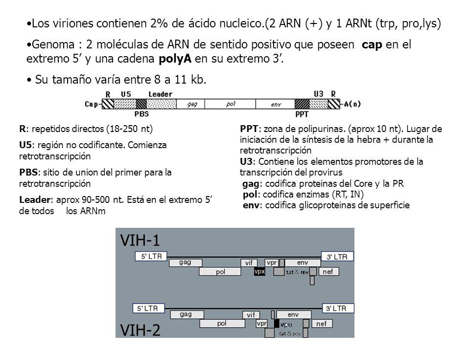 Los viriones contienen 2% de ácido nucleico