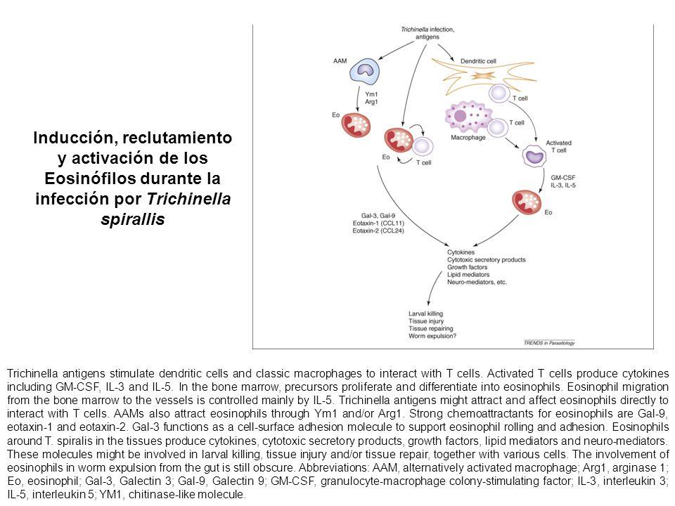 Inducción, reclutamiento y activación de los Eosinófilos durante la infección por Trichinella spirallis