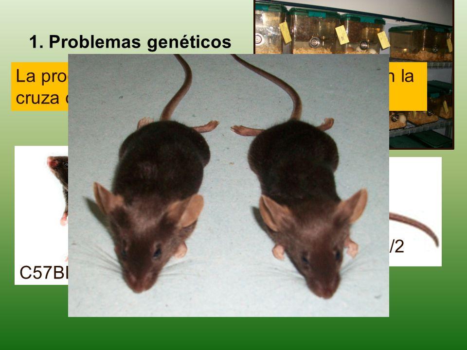 1. Problemas genéticos La producción de híbridos B6D2F1, se basa en la cruza de dos líneas consanguíneas.