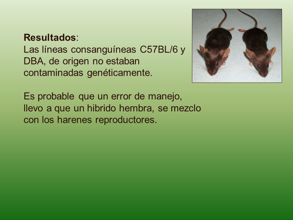 Resultados: Las líneas consanguíneas C57BL/6 y DBA, de origen no estaban contaminadas genéticamente.