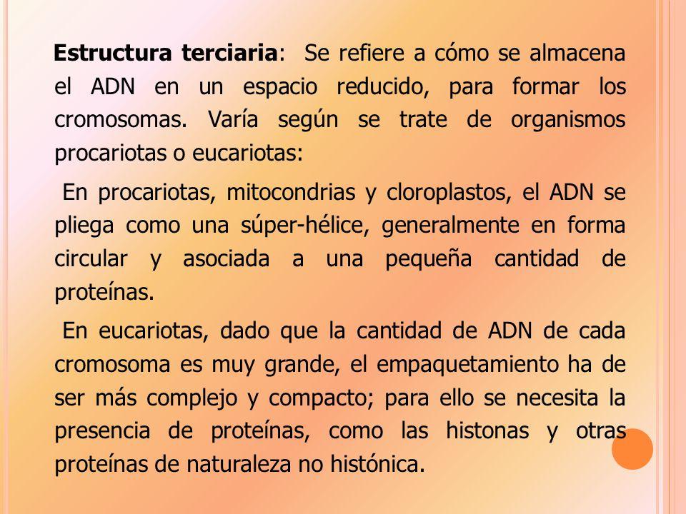 Estructura terciaria: Se refiere a cómo se almacena el ADN en un espacio reducido, para formar los cromosomas.