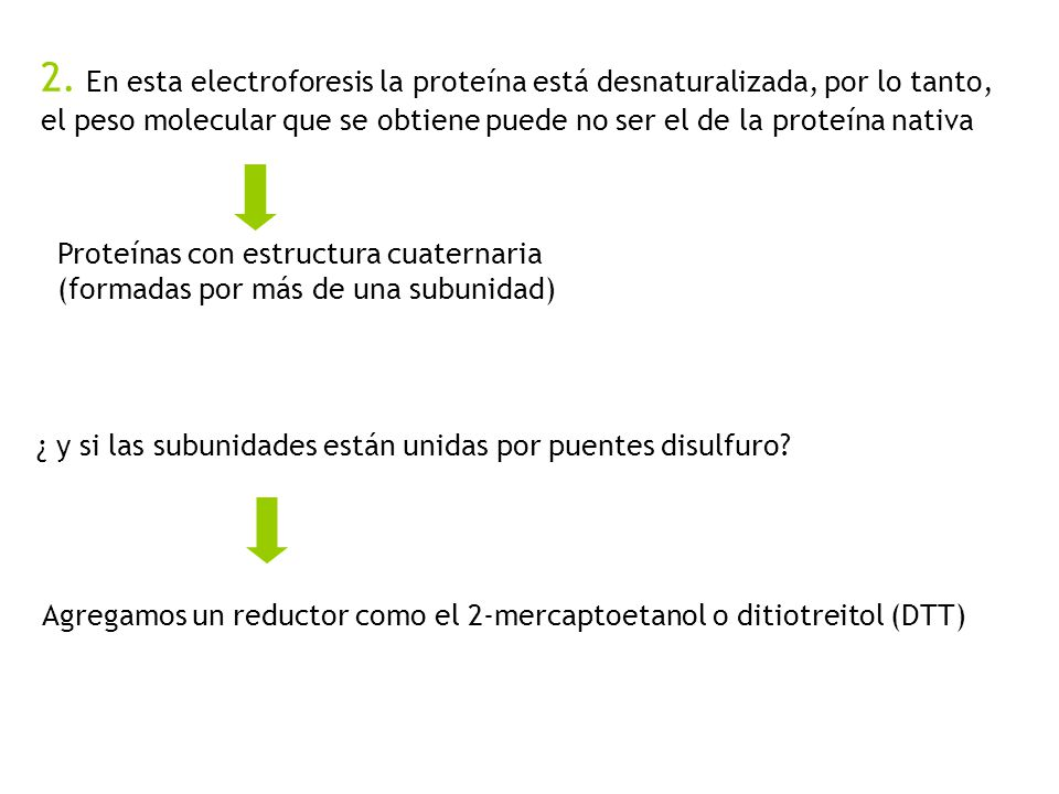 2. En esta electroforesis la proteína está desnaturalizada, por lo tanto, el peso molecular que se obtiene puede no ser el de la proteína nativa