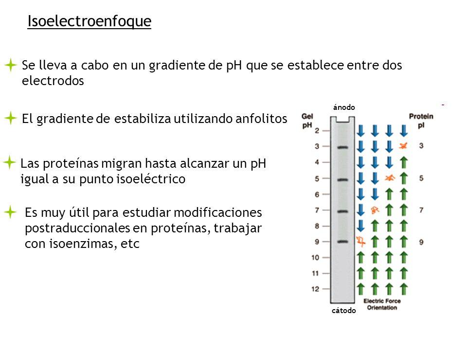 Isoelectroenfoque Se lleva a cabo en un gradiente de pH que se establece entre dos electrodos. ánodo.