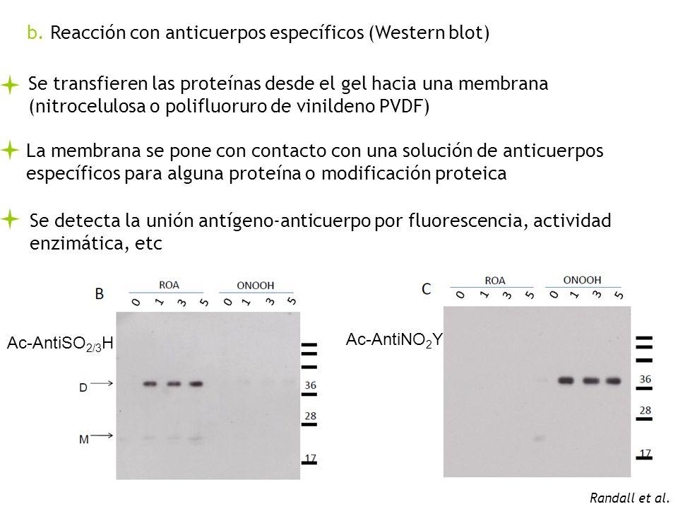 b. Reacción con anticuerpos específicos (Western blot)