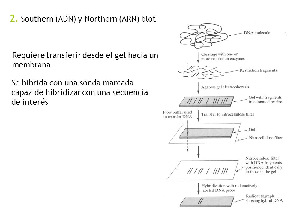 2. Southern (ADN) y Northern (ARN) blot