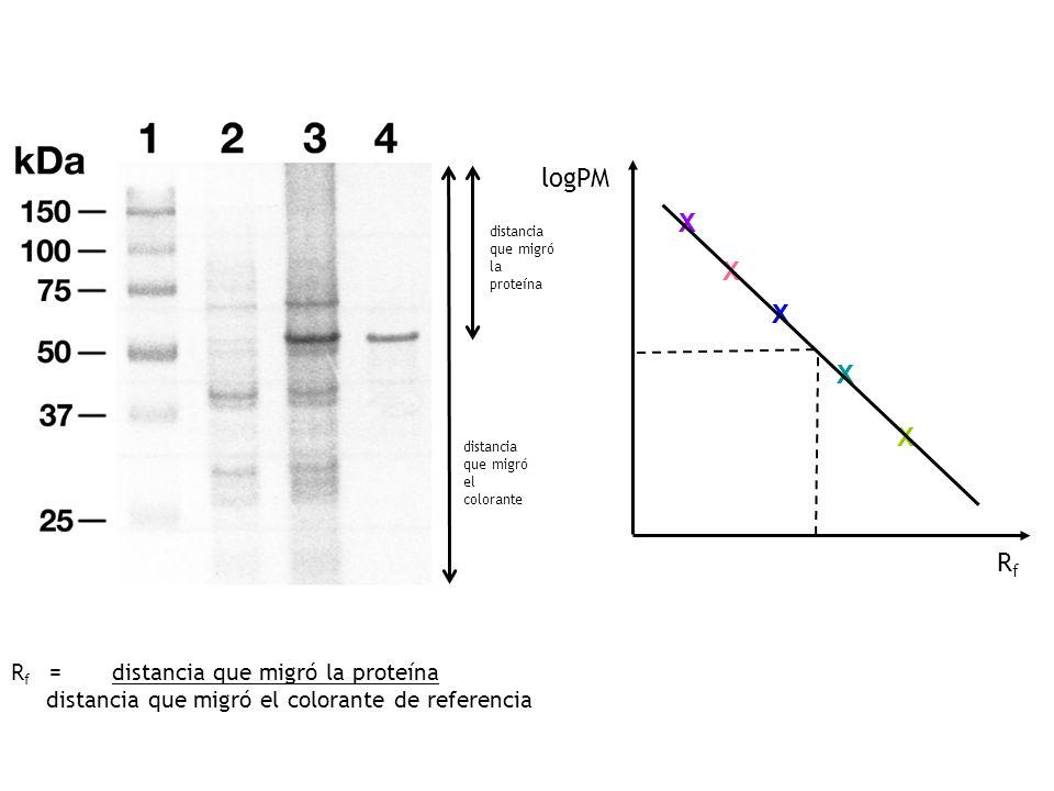 logPM X Rf Rf = distancia que migró la proteína