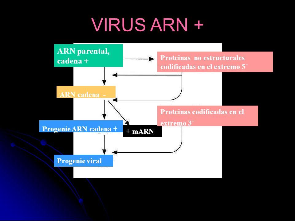VIRUS ARN + ARN parental, cadena +