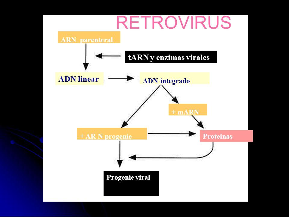 RETROVIRUS tARN y enzimas virales ADN linear ARN parenteral