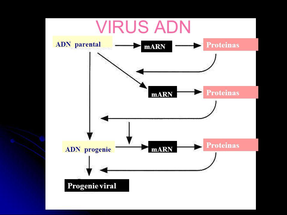 VIRUS ADN Proteinas Proteinas Proteinas Progenie viral ADN parental