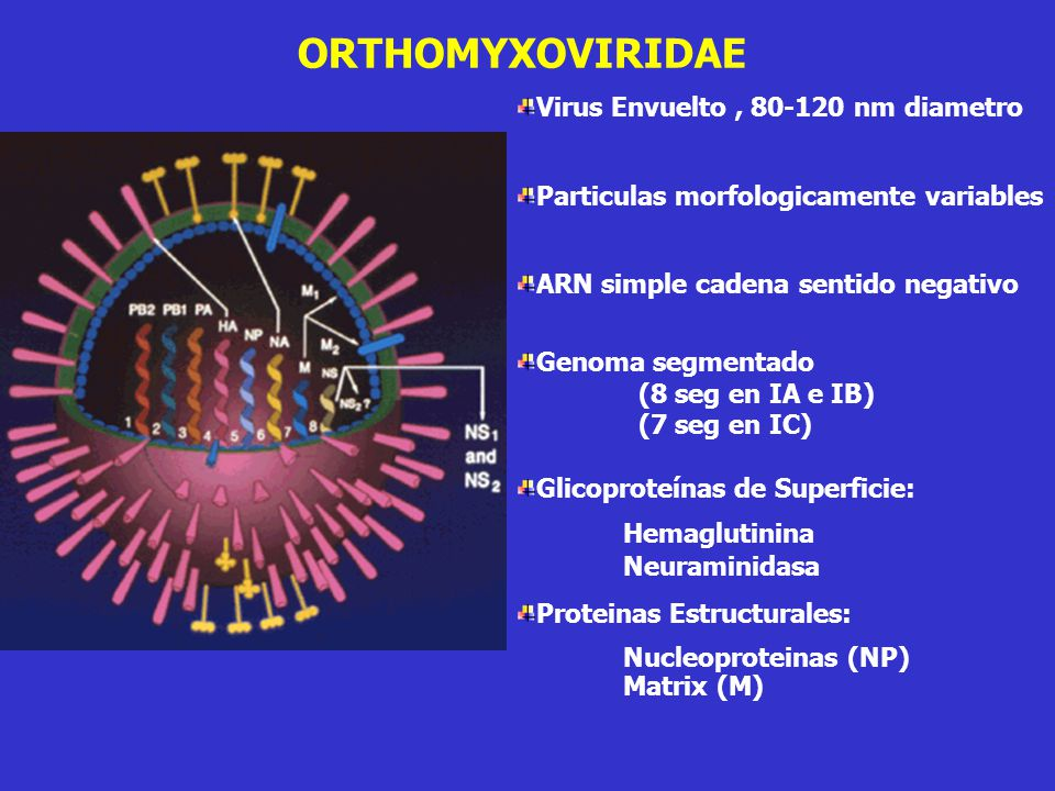 ORTHOMYXOVIRIDAE Virus Envuelto , 80-120 nm diametro