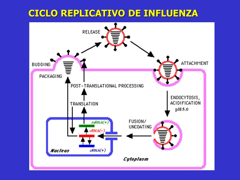 CICLO REPLICATIVO DE INFLUENZA