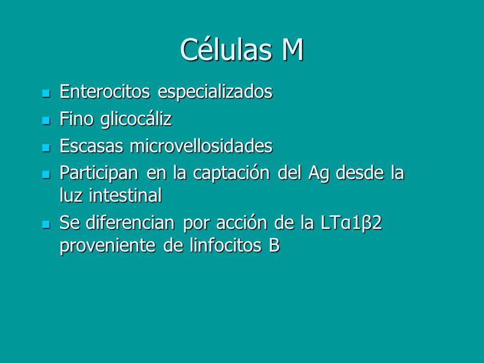 Células M Enterocitos especializados Fino glicocáliz