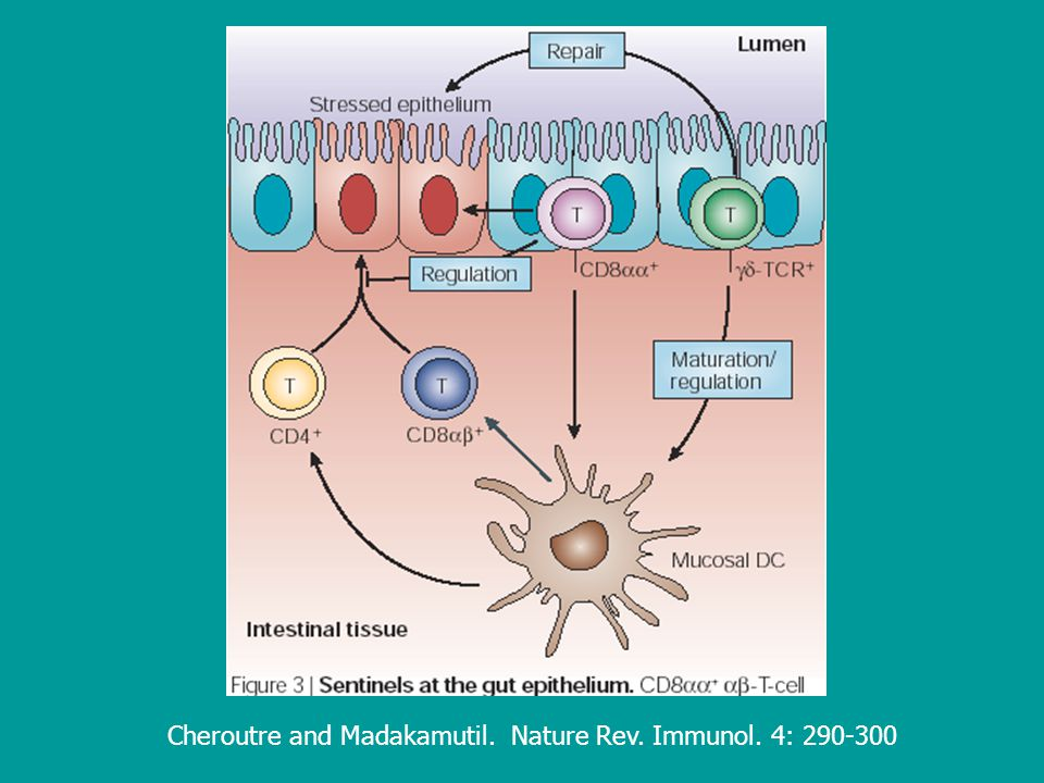 Cheroutre and Madakamutil. Nature Rev. Immunol. 4: 290-300