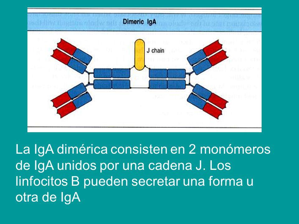 La IgA dimérica consisten en 2 monómeros de IgA unidos por una cadena J.