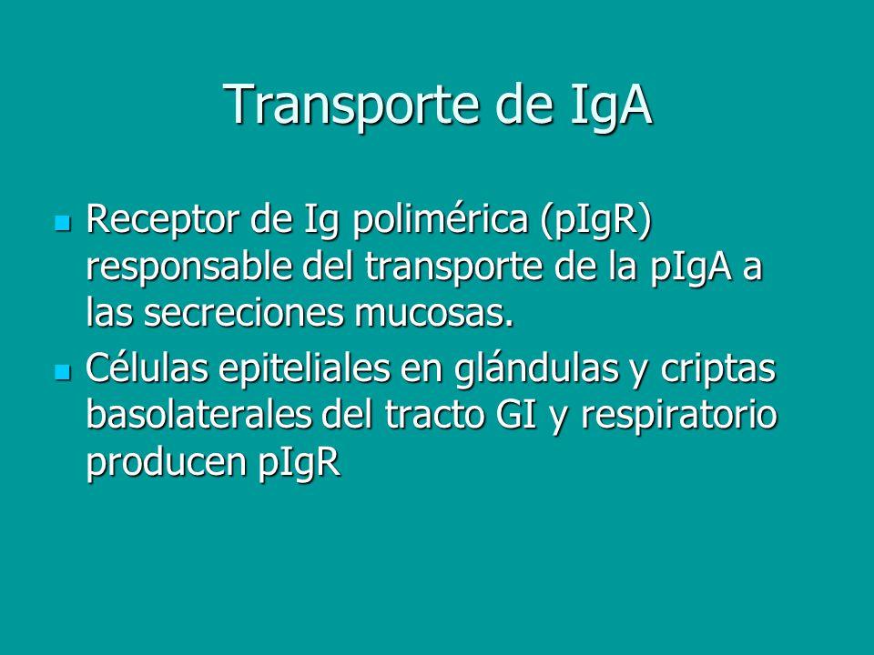 Transporte de IgA Receptor de Ig polimérica (pIgR) responsable del transporte de la pIgA a las secreciones mucosas.