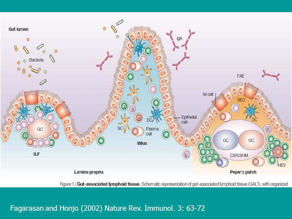 Fagarasan and Honjo (2002) Nature Rev. Immunol. 3: 63-72