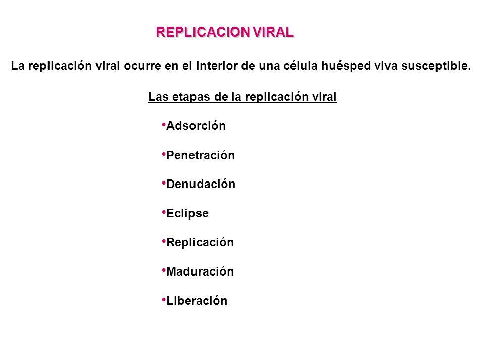 Las etapas de la replicación viral