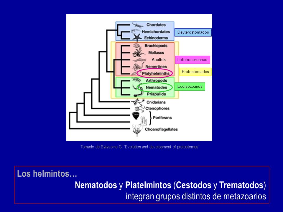 Tomado de Balavoine G. 'Evolution and development of protostomes'