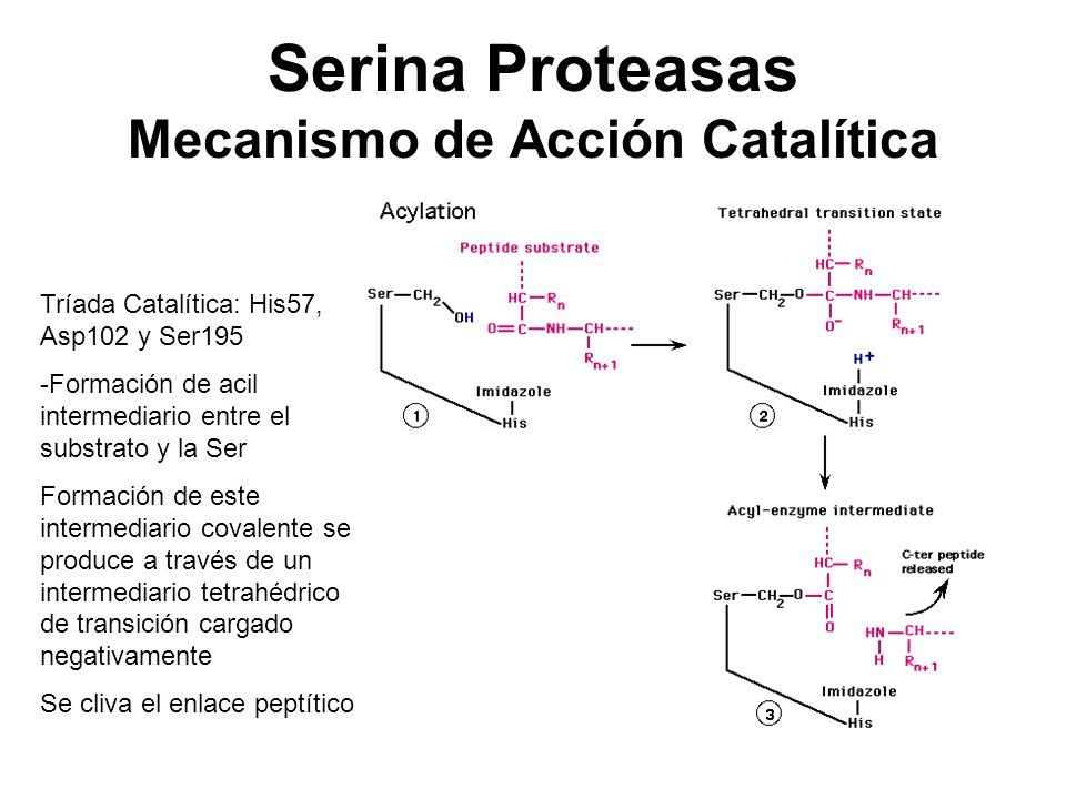 Serina Proteasas Mecanismo de Acción Catalítica