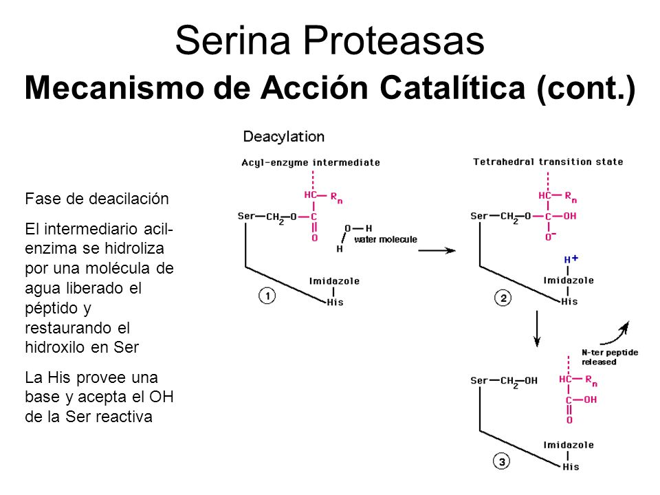 Serina Proteasas Mecanismo de Acción Catalítica (cont.)