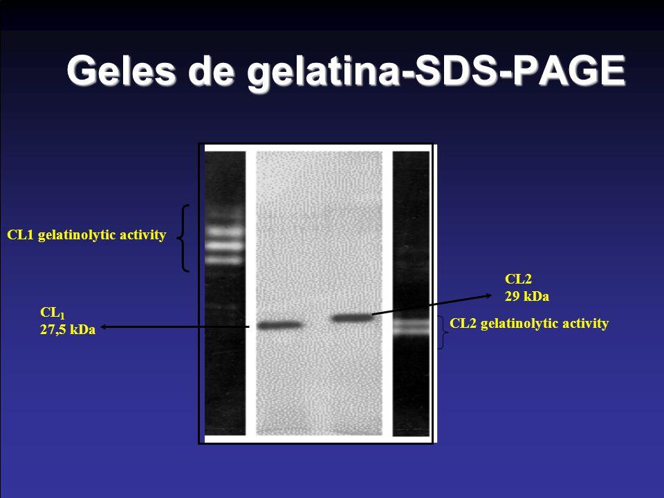 Geles de gelatina-SDS-PAGE