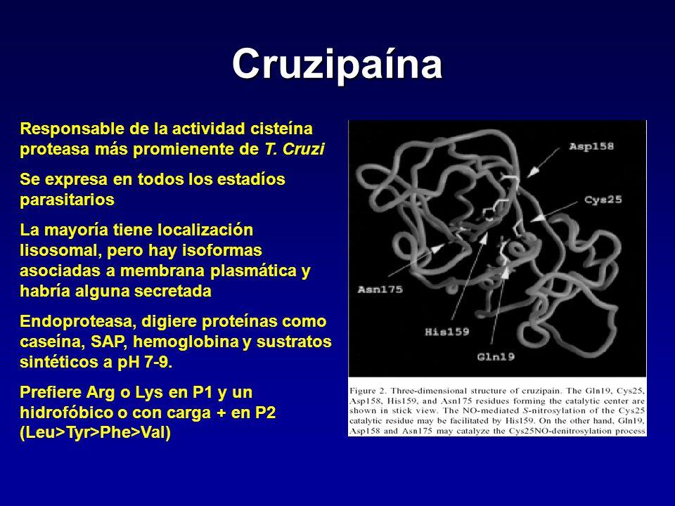 Cruzipaína Responsable de la actividad cisteína proteasa más promienente de T. Cruzi. Se expresa en todos los estadíos parasitarios.