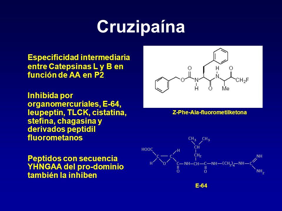 Cruzipaína Especificidad intermediaria entre Catepsinas L y B en función de AA en P2.