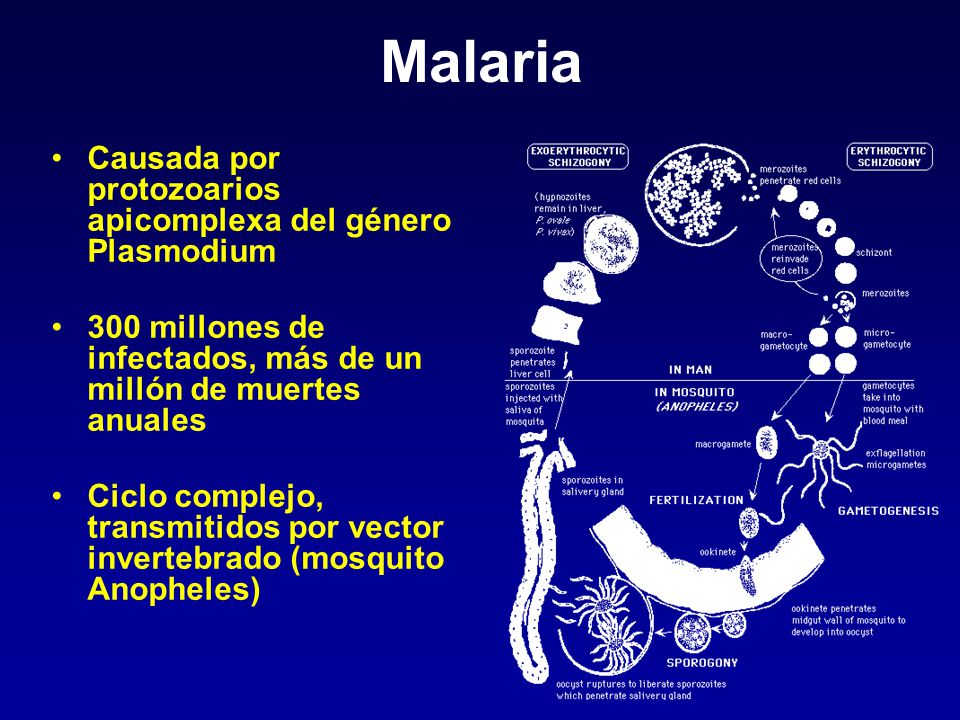 Malaria Causada por protozoarios apicomplexa del género Plasmodium