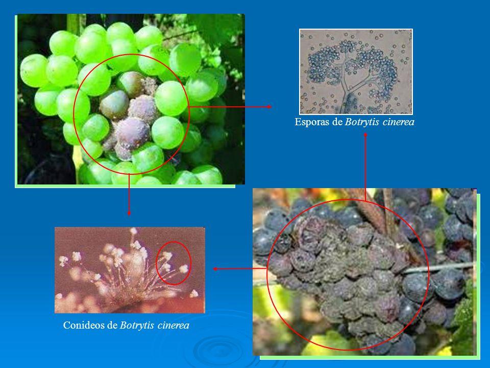 Esporas de Botrytis cinerea