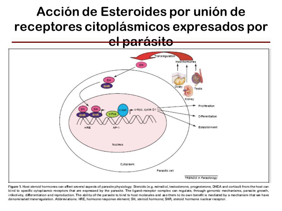 Acción de Esteroides por unión de receptores citoplásmicos expresados por el parásito