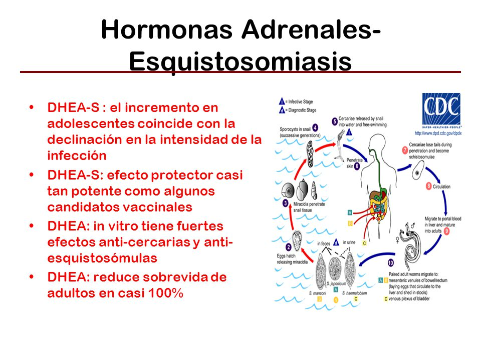 Hormonas Adrenales- Esquistosomiasis