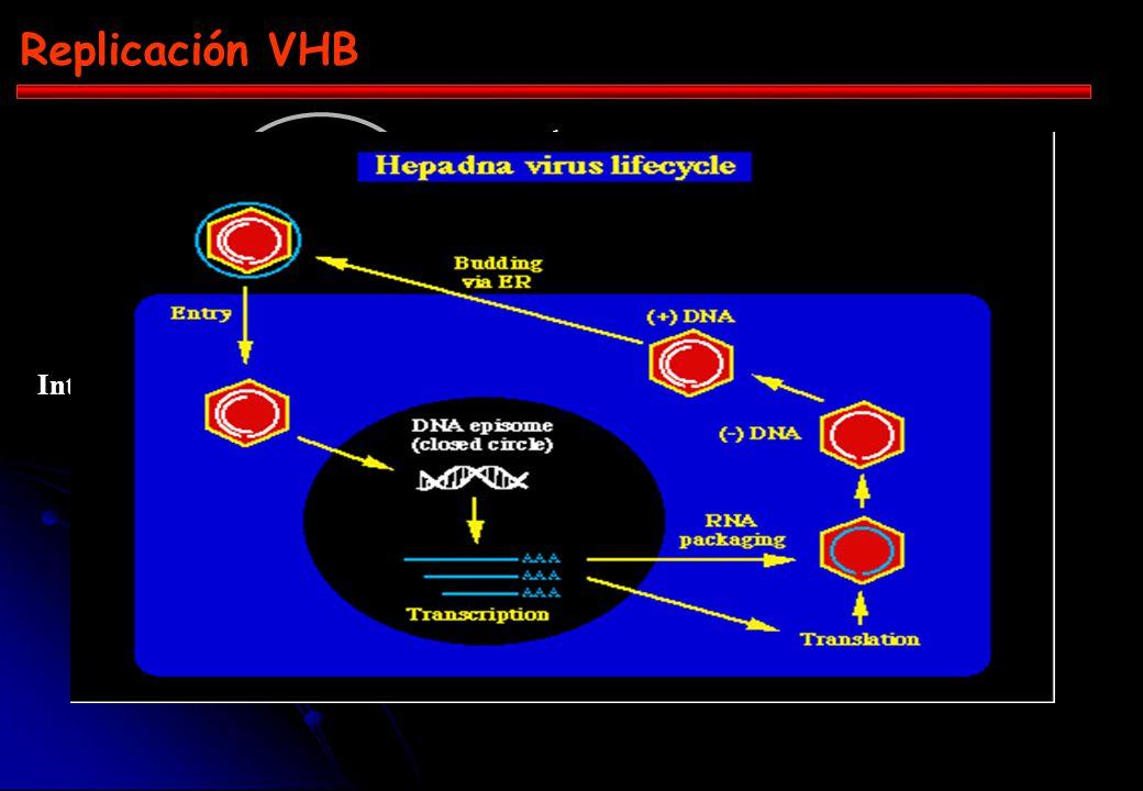 Replicación VHB + _ _ TR + 1 4 2 3 ADNccc Intermediario ARN-ADN