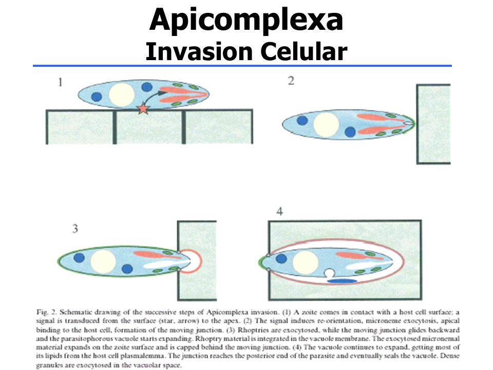 Apicomplexa Invasion Celular