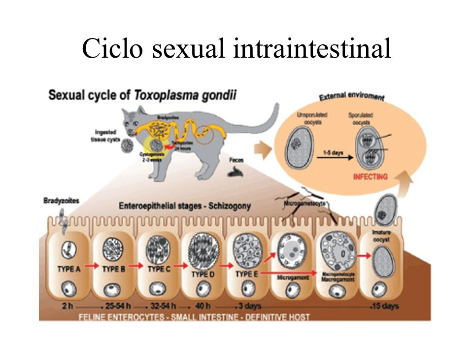 Ciclo sexual intraintestinal