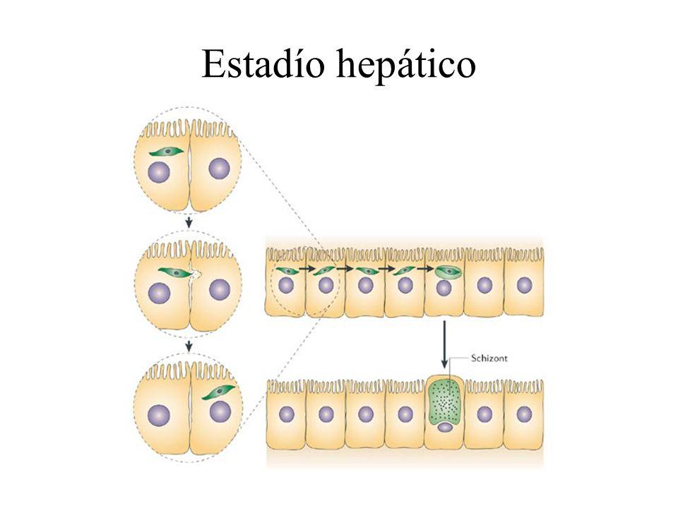 Estadío hepático