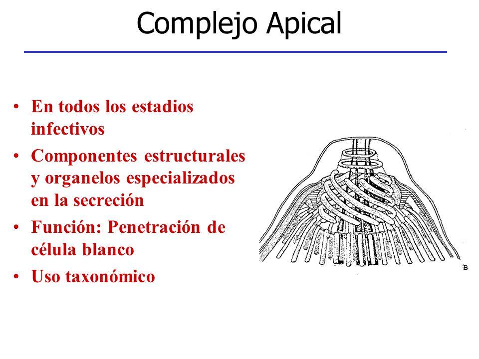 Complejo Apical En todos los estadios infectivos