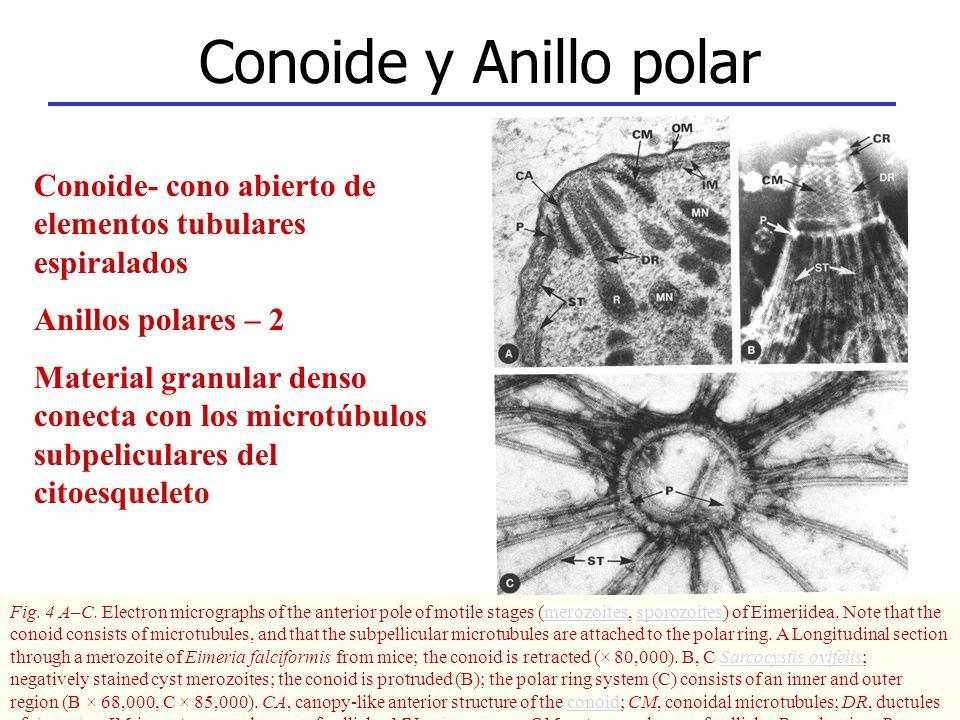 Conoide y Anillo polar Conoide- cono abierto de elementos tubulares espiralados. Anillos polares – 2.