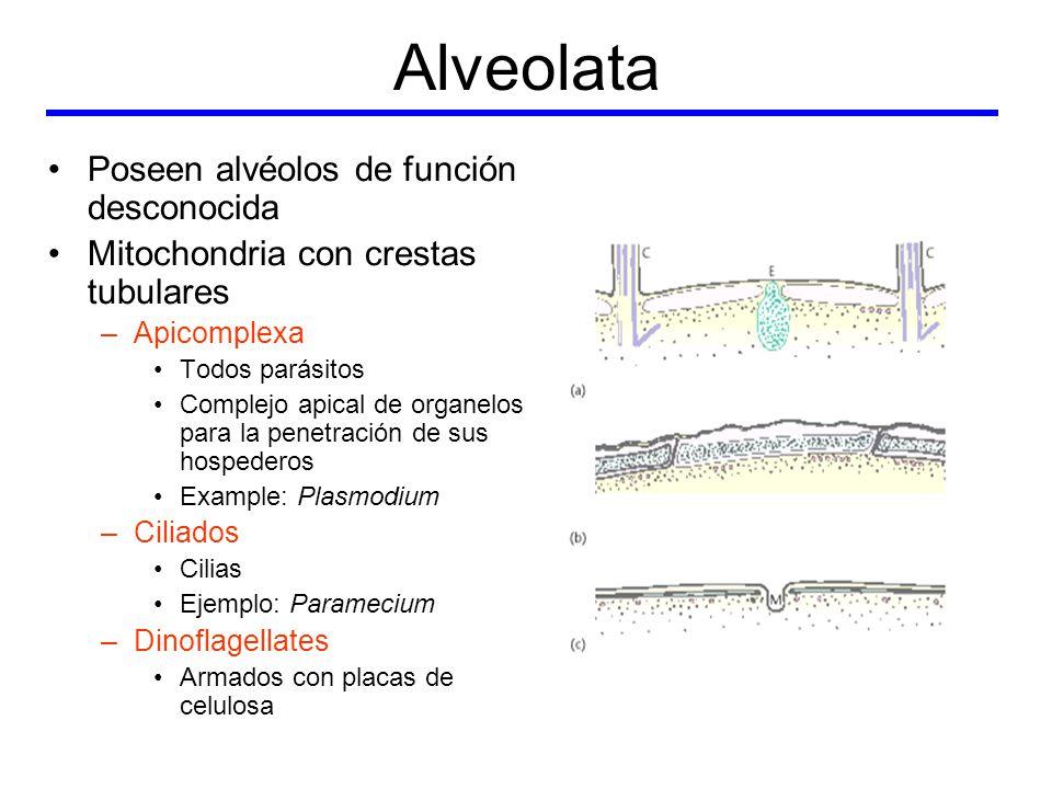 Alveolata Poseen alvéolos de función desconocida
