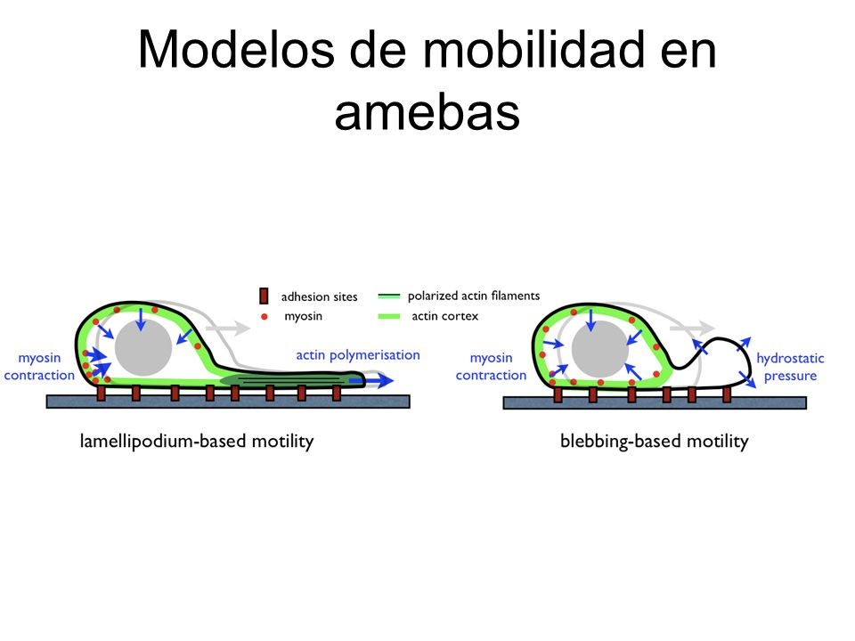 Modelos de mobilidad en amebas