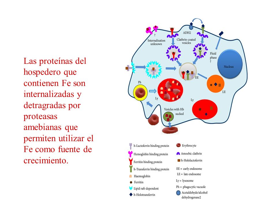 Las proteínas del hospedero que contienen Fe son internalizadas y detragradas por proteasas amebianas que permiten utilizar el Fe como fuente de crecimiento.