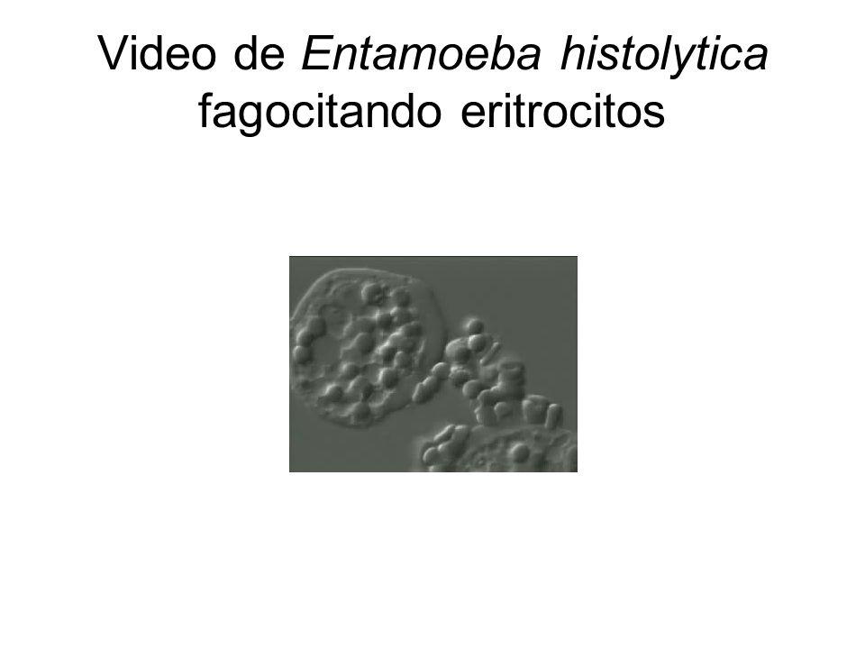 Video de Entamoeba histolytica fagocitando eritrocitos