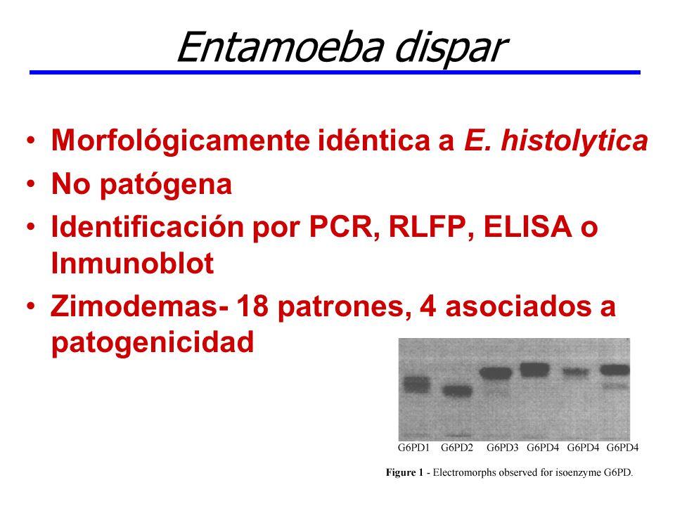 Entamoeba dispar Morfológicamente idéntica a E. histolytica